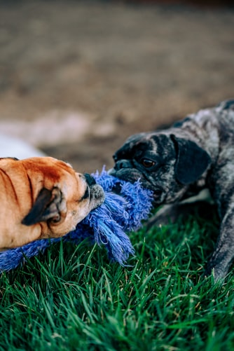 Best Treats for French Bulldogs
