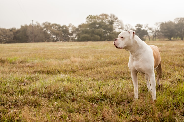 Difference Between English and American Bulldog