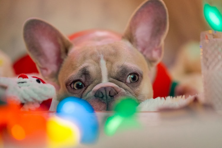 Best Dog Crate for French Bulldog