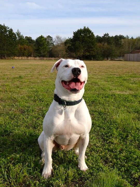 How Much Does an American Bulldog Cost