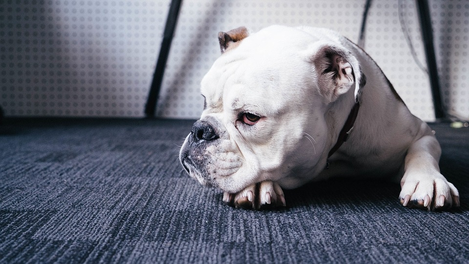 Best Joint Supplement for Bulldogs