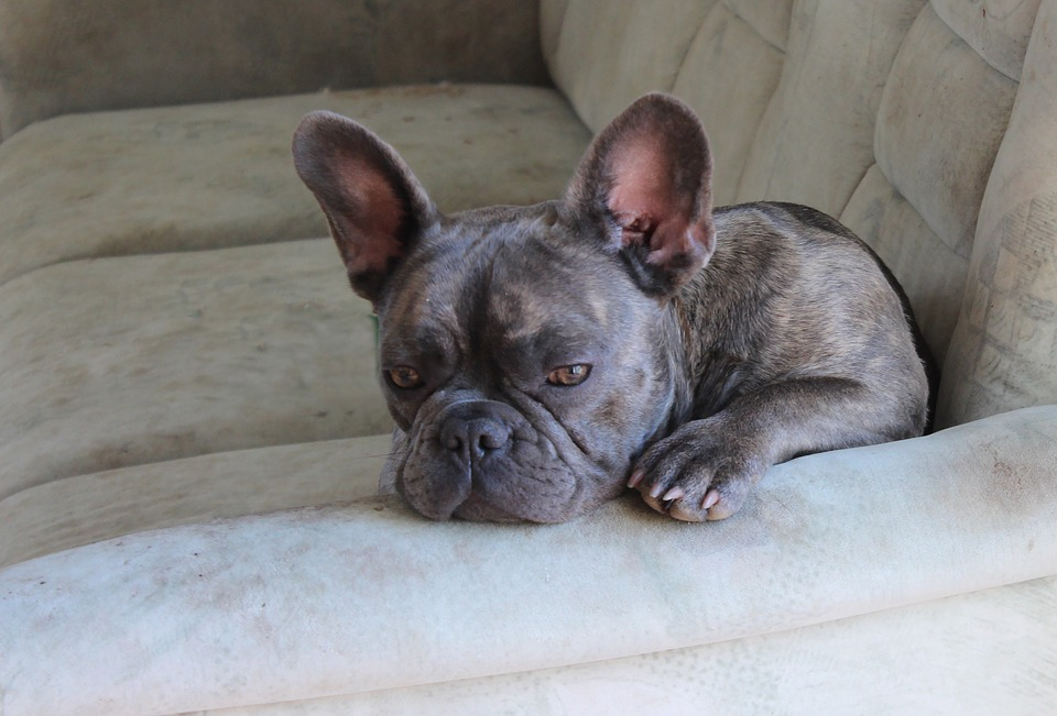 Best Chew Toys for French Bulldogs