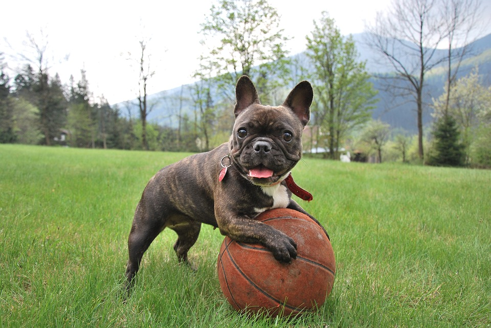 The Best Food for French Bulldogs With Allergies