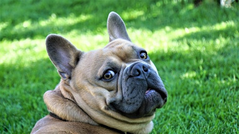 ARE BLUEBERRIES TOXIC TO FRENCH BULLDOGS?