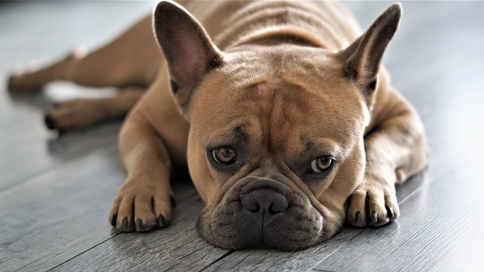 Kennel Cough in French Bulldogs