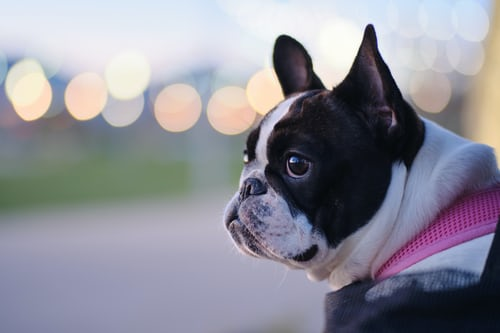 PROS AND CONS OF NEUTERING YOUR FRENCH BULLDOG