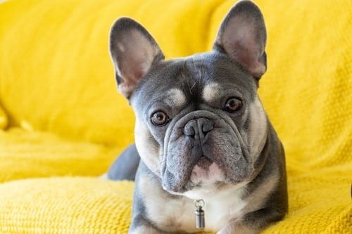 THE CONS OF NEUTERING YOUR FRENCH BULLDOG