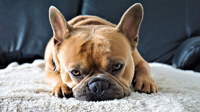 grapes intoxication in French bulldogs