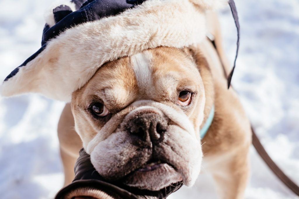 what temperature is too hot for English Bulldogs