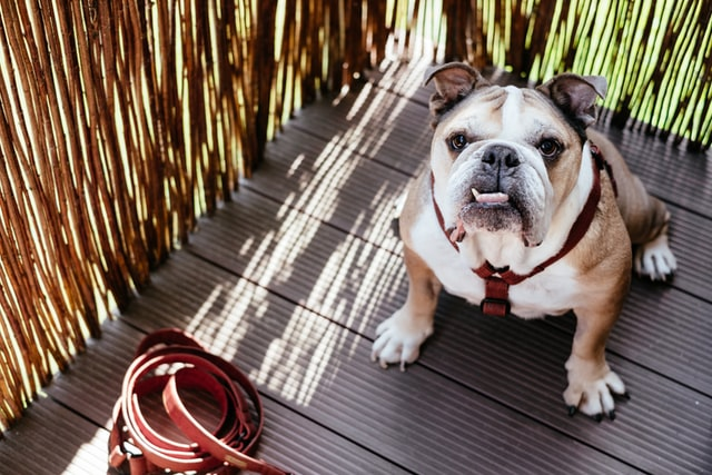 can Bulldogs fly on planes