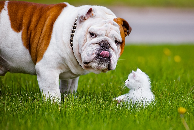 are English Bulldogs good with cats