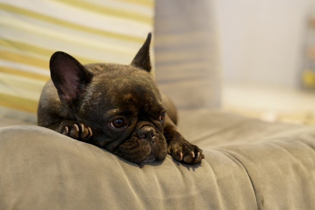 why do French Bulldogs snore