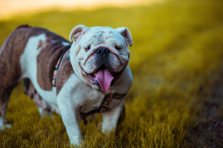 why do Bulldogs stick their tongues out