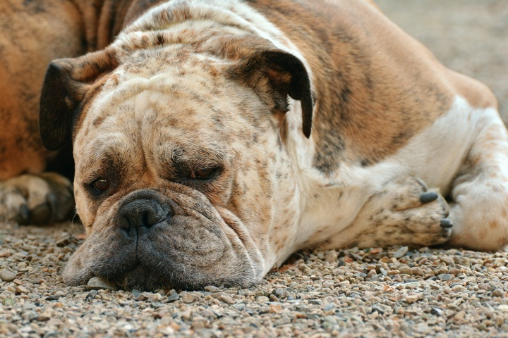 why do Bulldogs stink