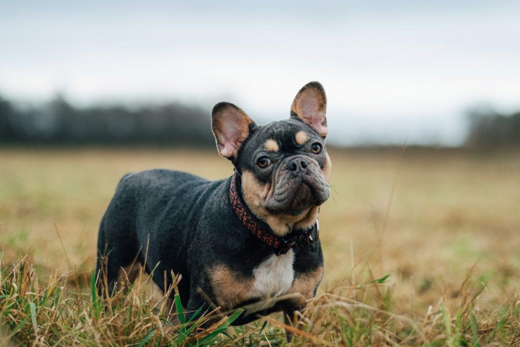 French Bulldog heart murmur