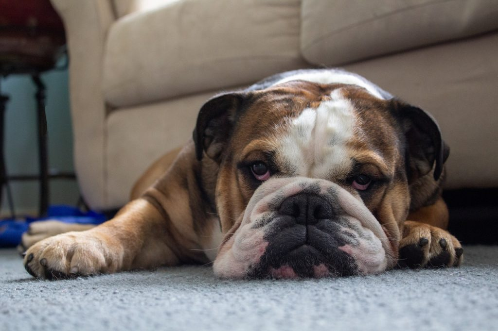 does salmon oil help dog allergies