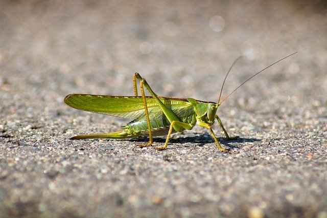 Are Grasshoppers Harmful To Dogs