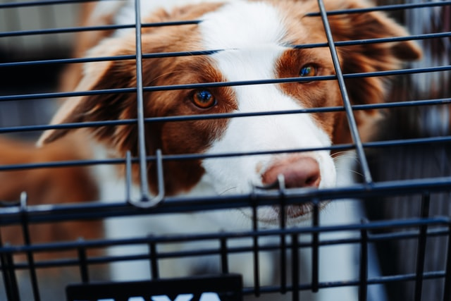 Caged Dog Syndrome