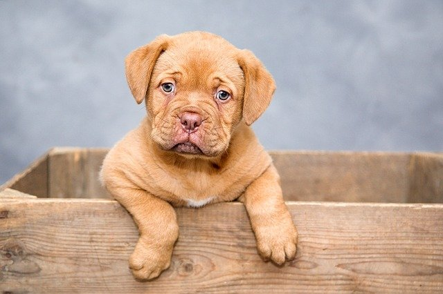Puppy Blues – Reason And Contributing Factors