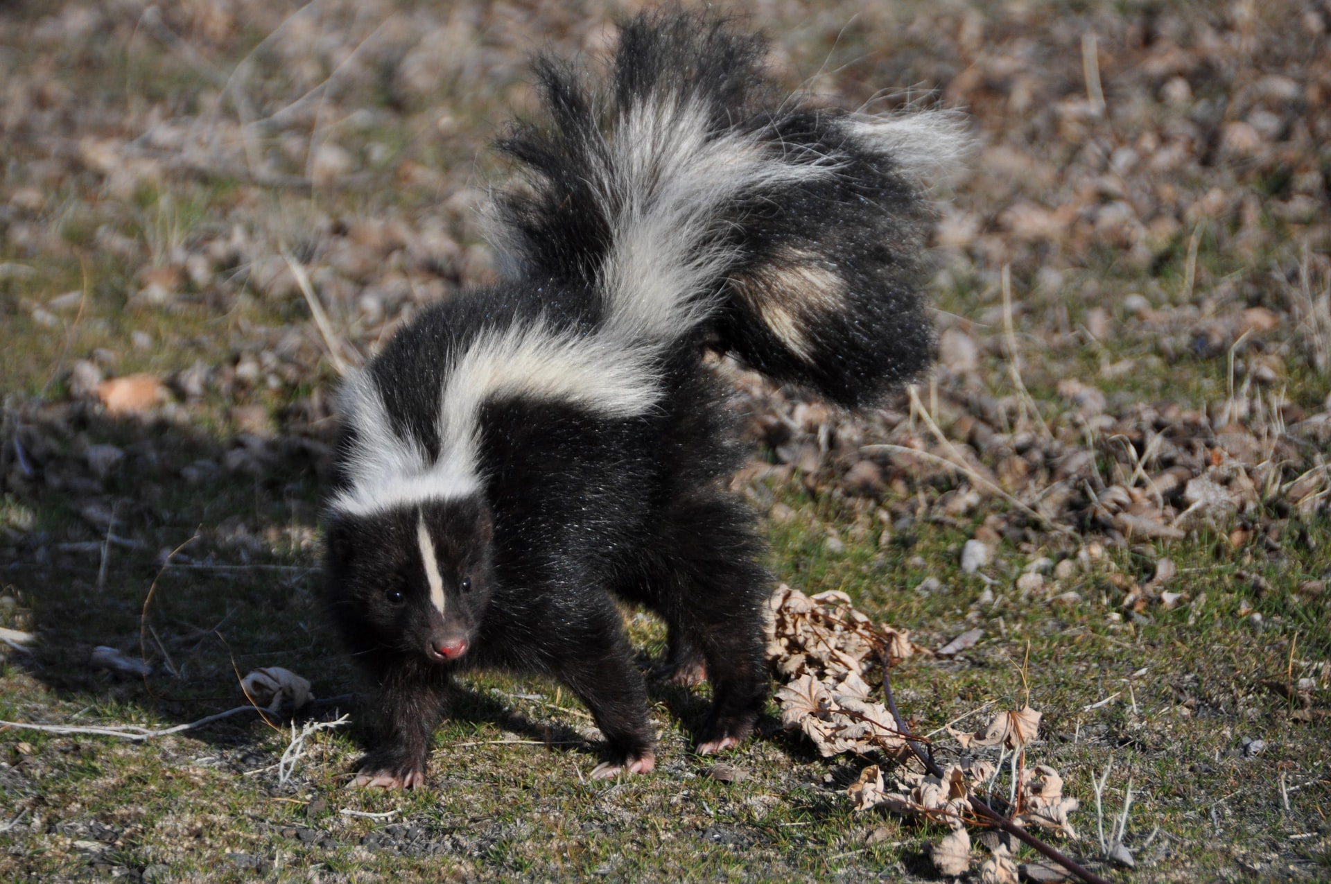 how to get rid of skunk smell on dog without peroxide