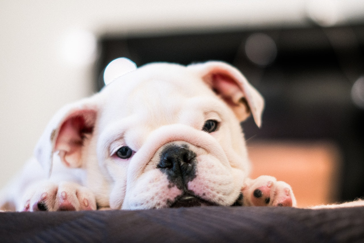 can diabetes in dogs be reversed