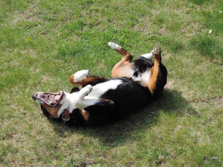 why do dogs like their bellies rubbed