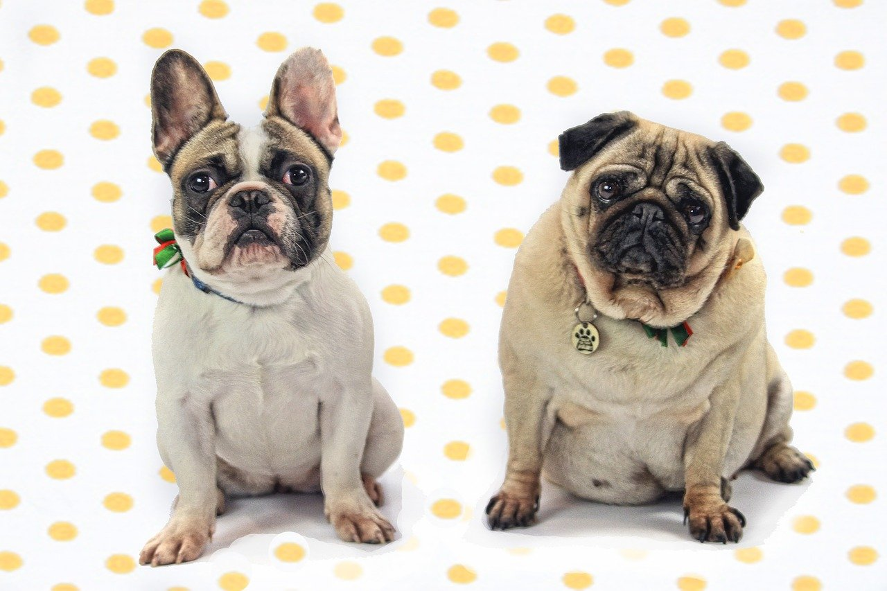 are Pugs and French Bulldogs related